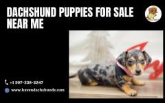 Dachshund Puppies for sale near me