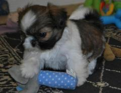we have male and female gorgeous Shih Tzu puppies for sale.