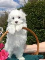 Healthy Home Trained Maltese Puppies