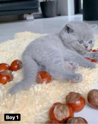 Two Blue British Shorthair Cat and kittens for sale