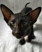 Available short hair peterbald kittens.