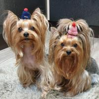 Yorkie Puppies Benji and Jose