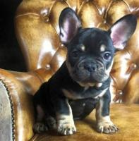 Adorable French Bulldog Puppies for a New Home