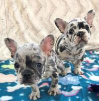 French Bulldog Puppies for Adoption