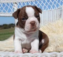 Boston Terrier Puppies for Sale.