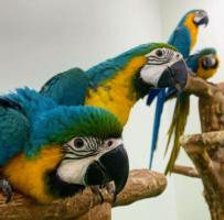 Macaws Birds for Sale