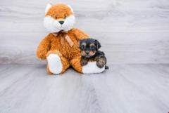 Yorkie puppies available for adoption...971-318-3477