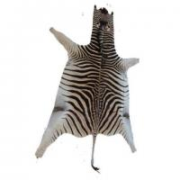 Genuine Burchell's Zebra skin in South Africa
