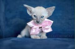 ORIENTAL SHORTHAIR KITTENS FOR SALE