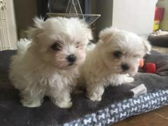 Cute and lovely male and female Maltese puppies for sale
