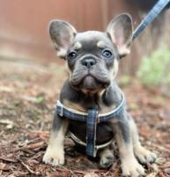 Excellent French Bulldog Puppies Home